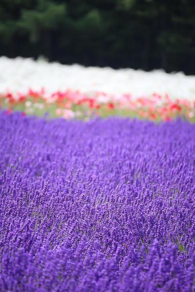 lavender-018