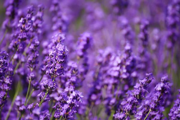 lavender-019