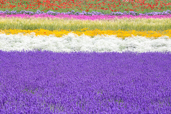 lavender-020