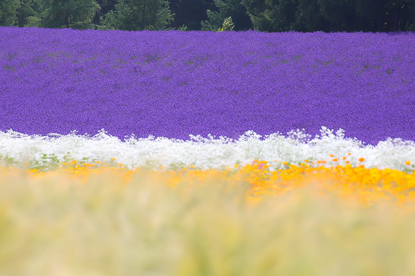 lavender-024