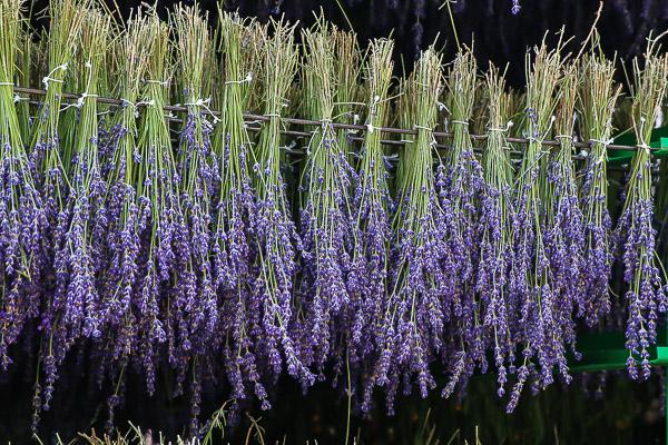 lavender-026