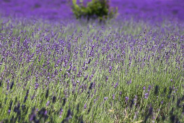 lavender-027