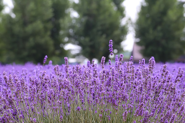 lavender-032