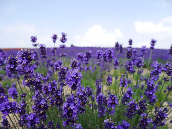 lavender-037
