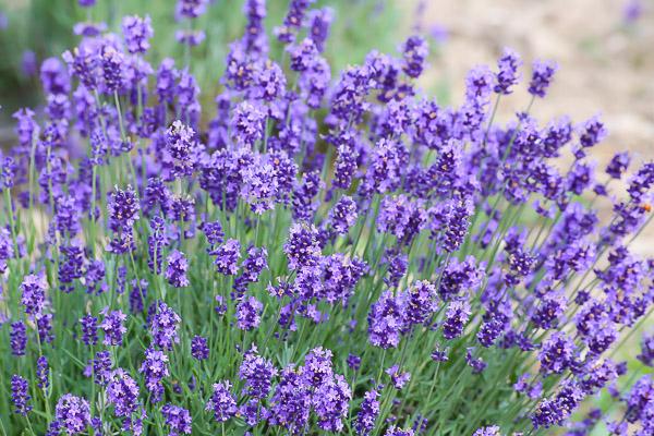 lavender-039