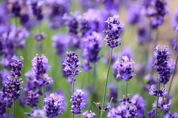 lavender-041