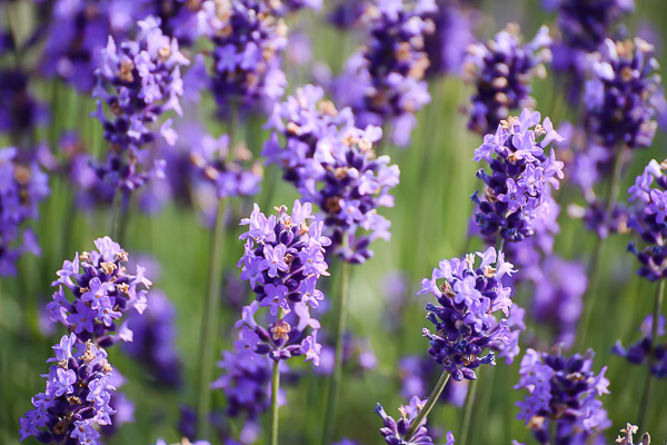 lavender-042