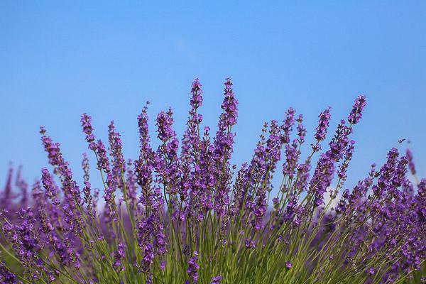 lavender-043