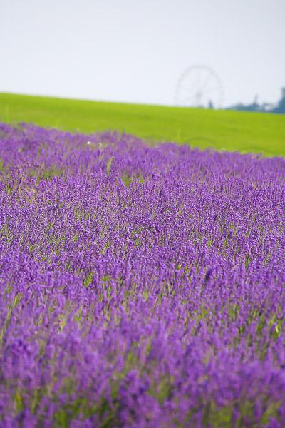 lavender-044