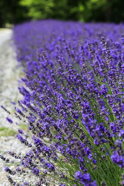 lavender-055