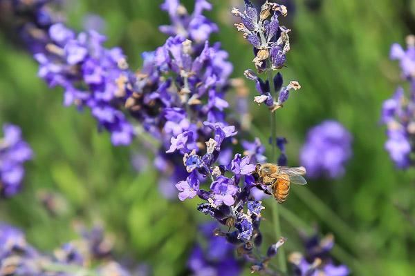 lavender-056