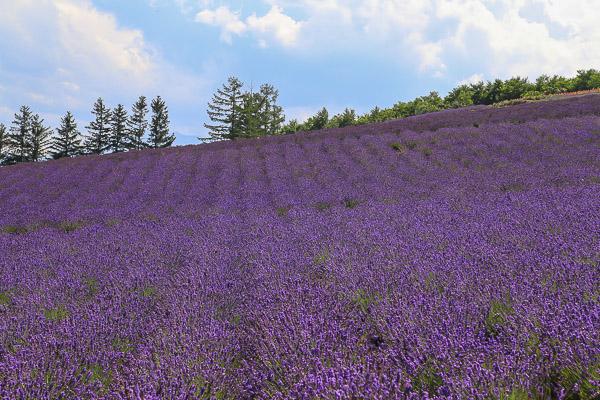 lavender-059