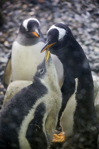 adv-penguin-001