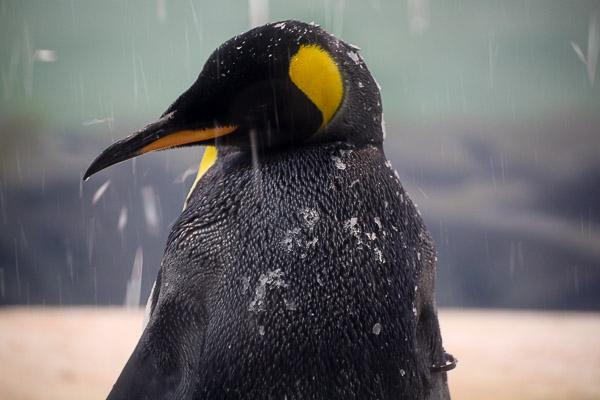 adv-penguin-006