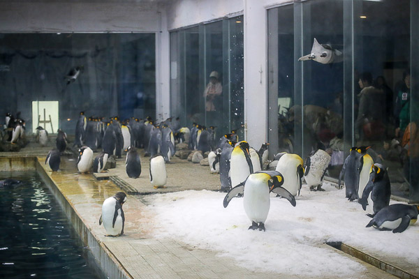 adv-penguin-007