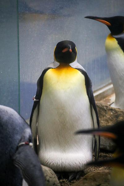 adv-penguin-009