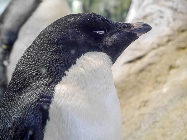 adv-penguin-018