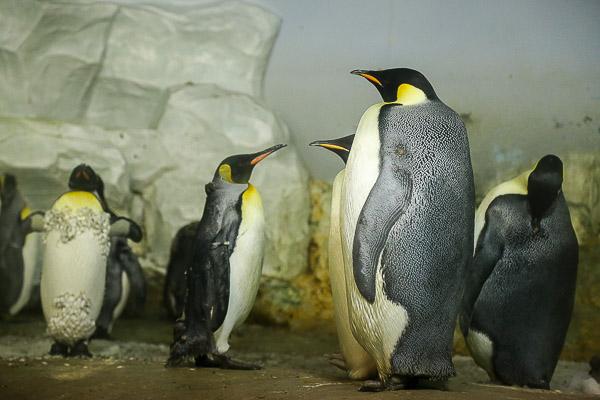 adv-penguin-020