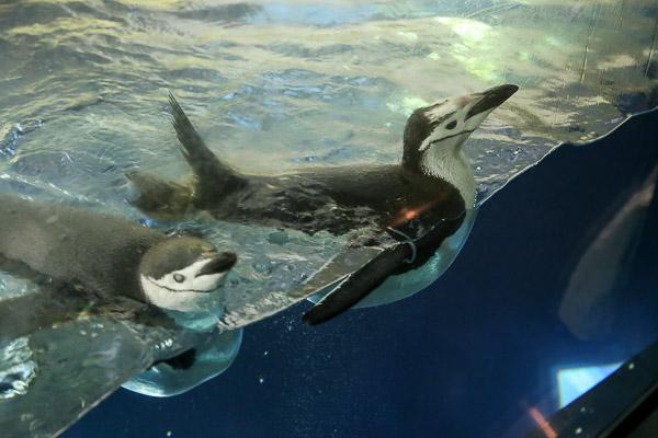 adv-penguin-022