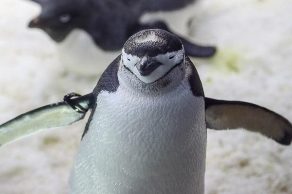 adv-penguin-098