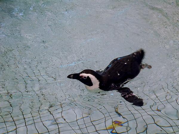 adv-penguin-099