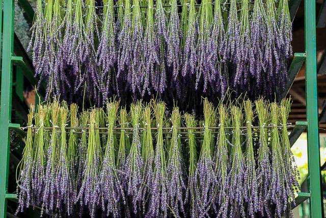 lavender-2015-004