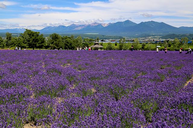 lavender-2015-006