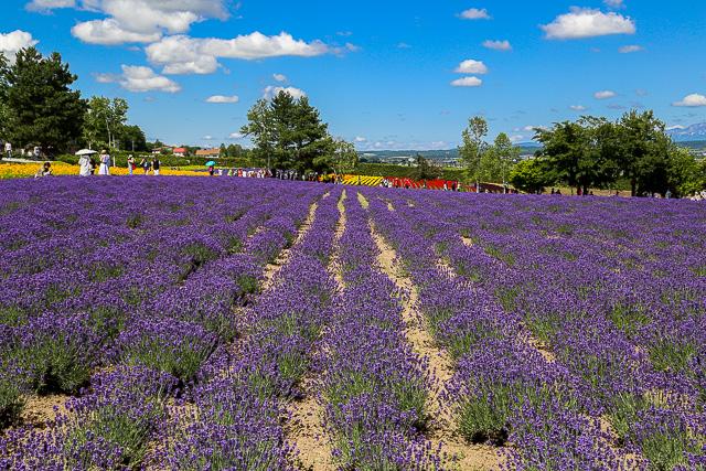 lavender-2015-007