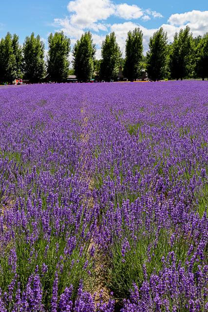lavender-2015-011