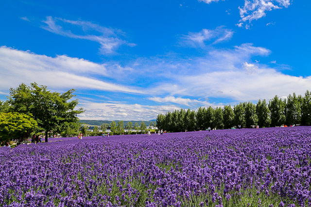 lavender-2015-013