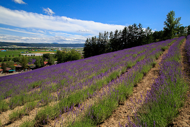 lavender-2015-018
