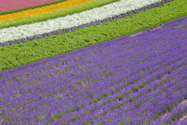 lavender-2015-027