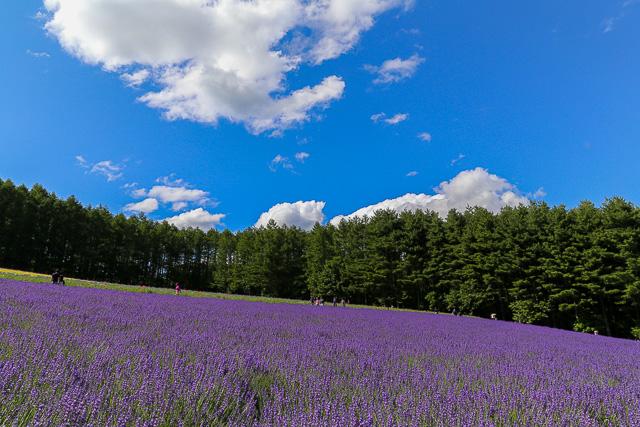 lavender-2015-035