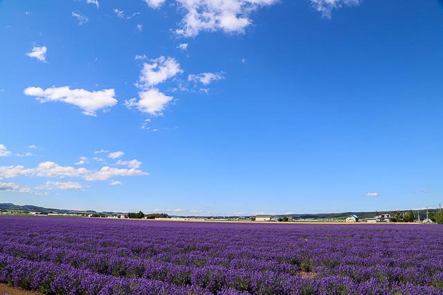lavender-2015-038