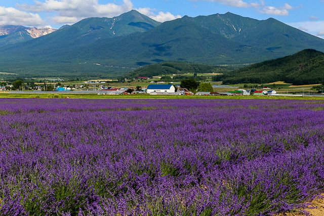 lavender-2015-039