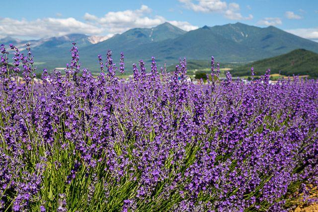 lavender-2015-040