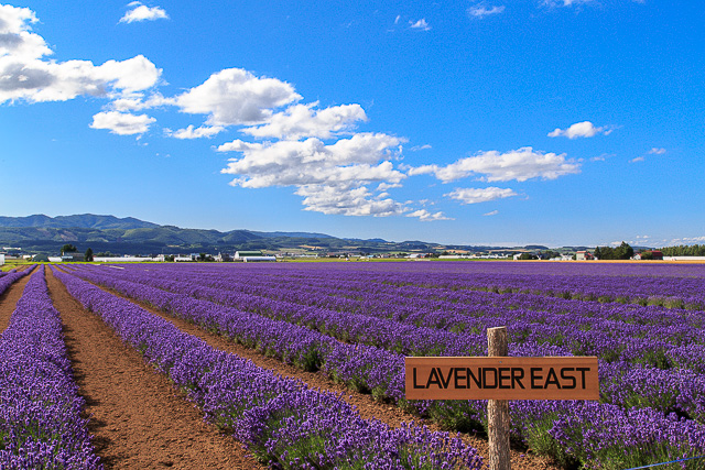 lavender-2015-042
