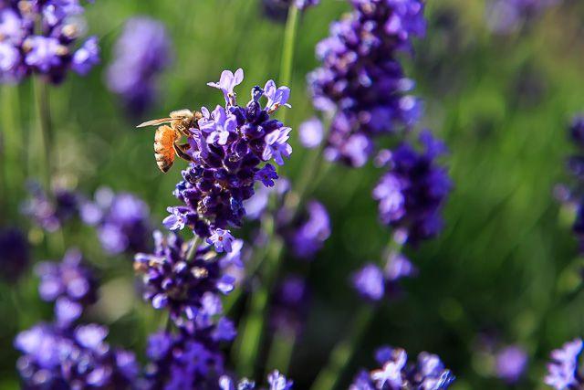 lavender-2015-044