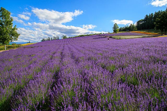 lavender-2015-048