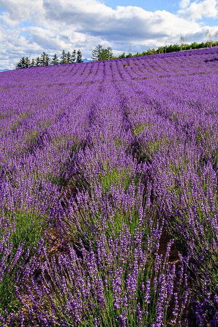 lavender-2015-049