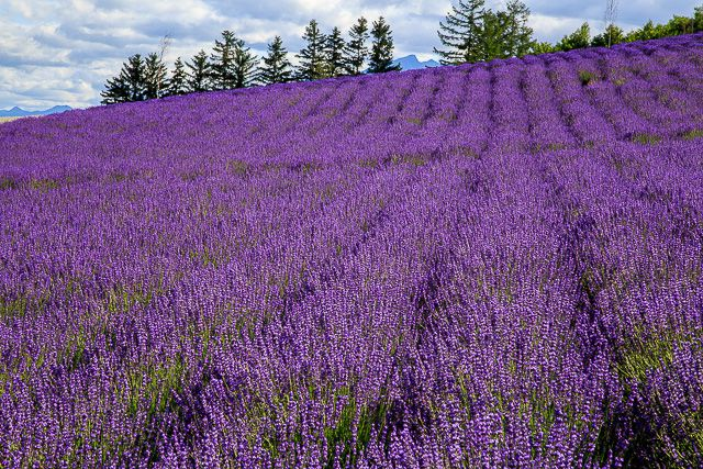 lavender-2015-050