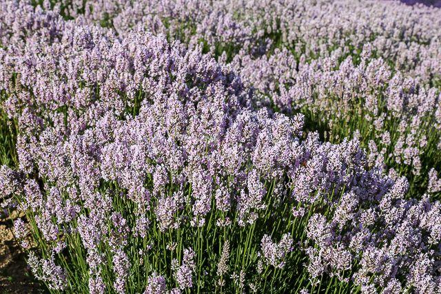 lavender-2015-054