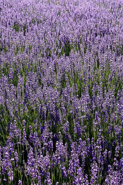 lavender-2015-056