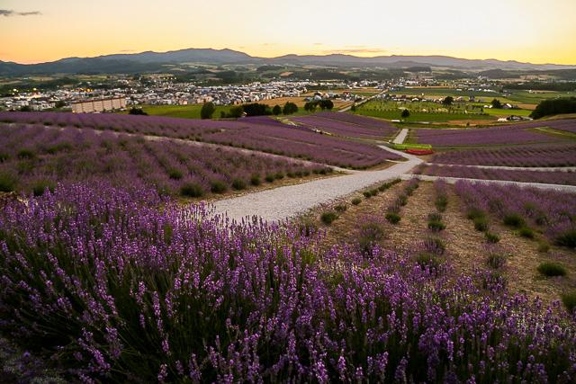 lavender-2015-058