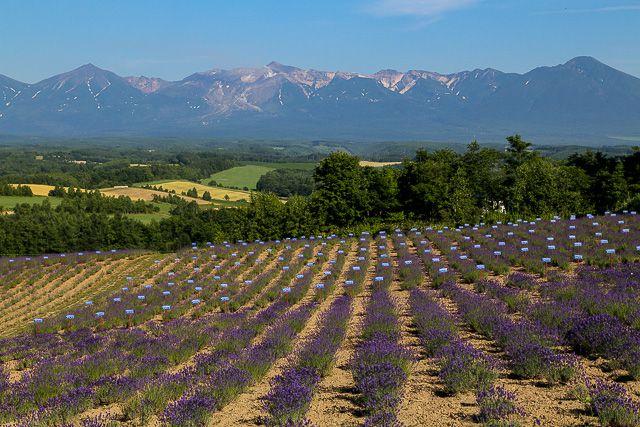 lavender-2015-101