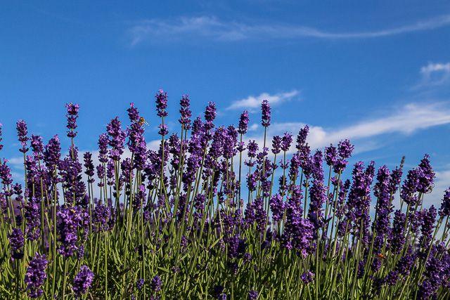lavender-2015-105