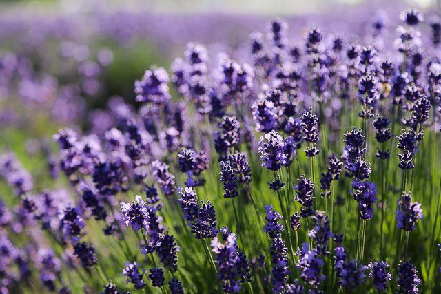 lavender-2015-106