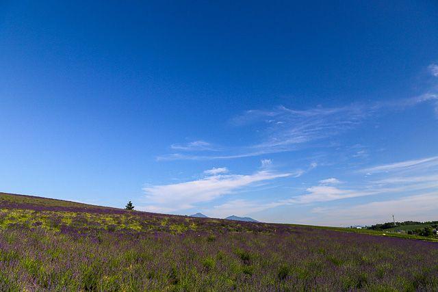 lavender-2015-108