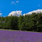 lavender2015-000