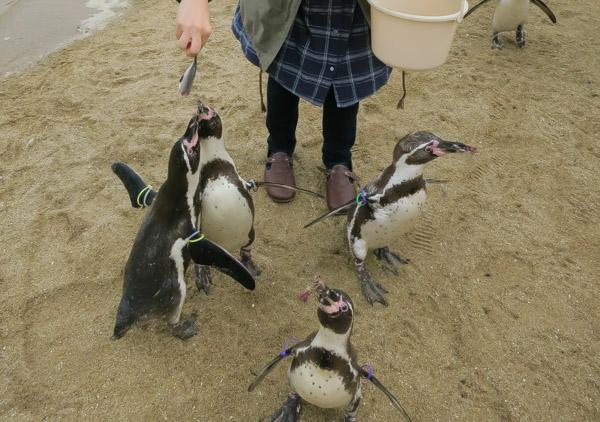 長崎ペンギン水族館のフンボルトペンギンのえさやり体験